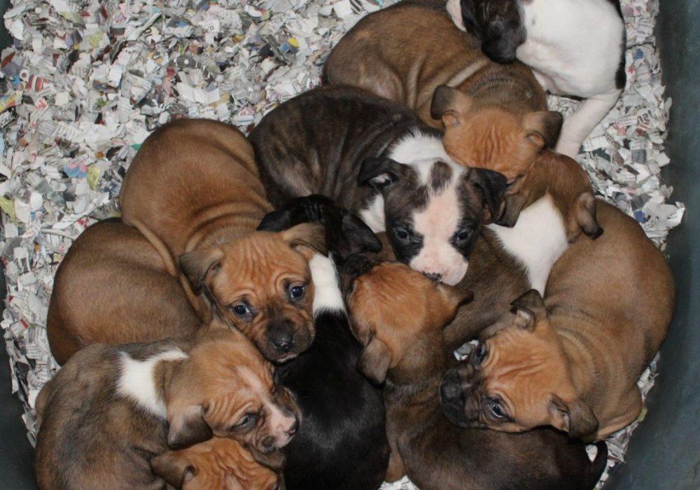 American Staffordshire Terrier cuccioli